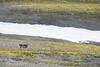 Reindeer spotting (EllieRoseWard) Tags: green reindeer snow wildlife arctic svalbard hiking