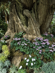 Shade Lovers (Steve Taylor (Photography)) Tags: cyclamen moss brown green white pink asia singapore flower tree bark trunk foliage leaves flowerdome gardensbythebay