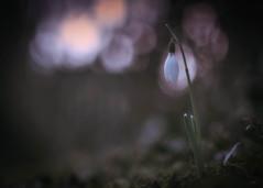 snowdrops.love (_andrea-) Tags: sonya7m2 objektiv planart1450 mount carlzeiss snowdrops january
