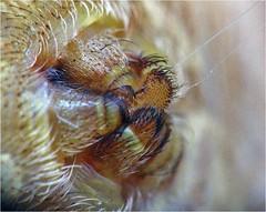 Cat-Faced Spider, (Araneus gemmoides) spinnerets (Small Creatures) Tags: catfacedspider d60 macro nikkorh85mm spider soligor lensstacking lensreversing dmount spinnerets web silk