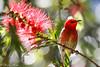Scarlet Splendour... Scarlet honeyeater in Callistemon (karenannehutt) Tags: scarlet honeyeater australianfauna australianwildlife australianbirds australianflora bird birdlife canon flower flowers animalportrait scarlethoneyeater
