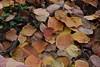 Diospyros kaki (esta_ahi) Tags: diospyroskaki diospyros kaki caqui palosanto ebanaceae hojas fulles lesclotes lallacuna anoia barcelona spain испания españa