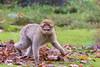 20171025-Apenheul-211.jpg (BZD1) Tags: berberaap macacasylvanus monkey animal apenheul primates barbarymacaque mammal apeldoorn gelderland nederland nl