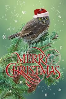 Merry Christmas! (Northern Pygmy Owl)