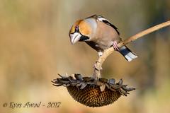 xxDSC_0103 (Eyas Awad) Tags: eyasawad nikond4 sigma500f45 nikond800 nikonafs300mmf4 bird birds birdwatching wildlife nature frosone coccothraustescoccothraustes
