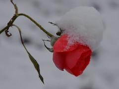 Rose mit Schneekrönchen (manuela1970) Tags: blumen flower rose winter schnee garten gudensberg chattengau