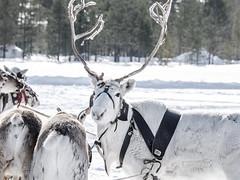 Khanty-81 (Polina K Petrenko) Tags: farnorth ruskinskaya russia siberia culture deer ethnic holiday indigenous khant khanty localpeople nikon reindeer traditional