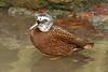 Laysan Duck - Anas laysanensis (Roger Wasley) Tags: laysanduc paysanteal anaslaysanensis ducks wildfowl hawaii laysan island hawaiian rare endemic