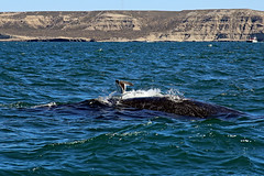Whale Surfing (Bloody Nick) Tags: whalewatching whale seagull argentina sea ocean sky water animals