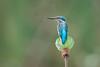 Kingfisher on lotus [Explored] (BP Chua) Tags: commonkingfisher kingfisher bird nature wild wildlife animal blue pond lotus plant nikon d750 600mm sataybythebay singapore