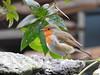 Robin (Corine Bliek) Tags: erithacusrubeculabirding nature natuur vogel bird garden tuin wildlife birds vogels birdwatching pájaros oiseaux aves tuinvogels zangvogels passeriformes passerine songbirds