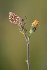 D71_0858A (vkalivoda) Tags: motýl butterfly schmetterling insect macro depthoffield bokeh serene makro nikon10528 nikon105 nikon d7100 nikond7100 10528 modrásek blue modrásekvikvicový polyommatuscoridon modráčikvikový chalkhillblue silbergrünerbläuling grisetademuntanya solvblafugl ninacoridon bleunacré sudrabainaiszilenitis stepinismelsvys ezüstkékboglárka bleekblauwtje modraszekkorydon srebrnkastiplavac ljusblavinge