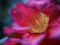 Phantom (somazeon) Tags: camellia flower cosina voigtlander nokton 25mm f095 lumix gx7 panasonic bokeh