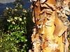 Peeling Tree Bark Disease (Best Blown Up) #PinnacleGardens (EX22218 - ON/OFF) Tags: pinnaclegardens louisville kentucky flickr 365 disease environment mold trees grass weed weeds mostinteresting toxic companionplanting organic fungus borers emeraldashborer