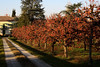 Diospyros kaki (Alfredo Liverani) Tags: 7dayswithflickr 7dwf flora caco cachi persimmon canong5x canon g5x pointandshoot point shoot ps flickrdigital flickr digital camera cameras europa europe italia italy italien italie emiliaromagna romagna faenza faventia faience faenza2017 3532017 project365353 project365121917 project36519dec17 oneaday photoaday pictureaday project365 project project2017 2017pad