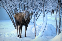 Happy faced moose . . . (JLS Photography - Alaska) Tags: animal animals alaska alaskalandscape landscape moose alce alces eland elch elk jlsphotographyalaska happy cowmoose hdr art nature snow