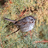 Song Sparrow (Ed Sivon) Tags: america canon nature lasvegas wildlife wild western southwest desert clarkcounty clark vegas bird henderson nevada nevadadesert preserve