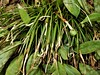 Carex pedunculata (John Scholze) Tags: carex pedunculata wisconsin sedge