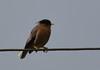 Brahminy starling (praveen.ap) Tags: brahminy starling myna mynna brahminystarling brahminymyna osudu ousteri lake pondicherry