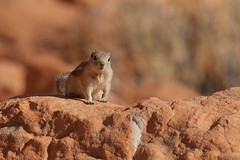 Hello 2018 (Anna Kwa) Tags: goldenmantledgroundsquirrel callospermophiluslaterals groundsquirrel valleyoffirestatepark nevada mojavedesert usa annakwa nikon d750 afsnikkor70200mmf28gedvrii my wish 2018 always hope seeing heart soul throughmylens prayers foryou omm will try travel world happynewyear bewell see earth round again