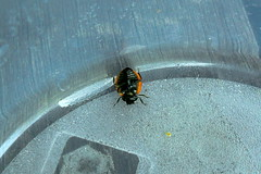 +SAM_5408_cr Zombi katica, ahogy a tartóban találtam L20-140-210 (NagySandor.EU) Tags: törökbálint hungary hétpettyeskaticabogár katicabogár zombi zombie coccinellaseptempunctata gyilkosfürkész