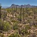 A Hillside of Saguaro Cactus and a Backdrop of Tucson Mountain Peaks (Saguaro National Park)