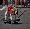 Four Wheeling Dog (swong95765) Tags: dog canine animal pet ride skateboard trick trained cute