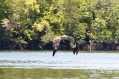 Malaysia-14756.jpg (CitizenOfSeoul) Tags: malaysia pulaulangkawi wildlife see langkawi andamanensee outdoor wildlebendetiere animal eagle adler