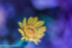 UnCerTain .. (frederic.gombert) Tags: flower daisy dandelion color blue yellow macro plant garden winter colors nikon