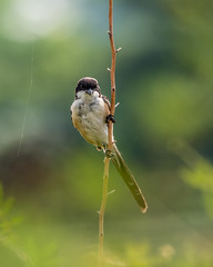 20171206-EM129035 (shutterblades) Tags: birds longtailedshrike olympusem1mkii olympusmzuiko300mmf4pro14tc seletaraerospacepark seletarwestlink