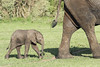 Newborn elephant (tmeallen) Tags: newborn africanelephant loxodontaafricanus mother following tiny grasslands bush grumetigamereserve serengetinationalpark tanzania eastafrica
