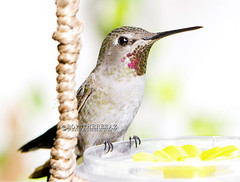 Elora (theresazphotography) Tags: hummingbirdphotography hummingbirds hummingbird californiahummingbirds californiabirds birdphotography birds birdwatching theresazphotography nature naturephotography losangeles southerncalifornia socal california