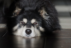 1/12/A taivas - patch of sun (sure2talk) Tags: taivas finnishlapphund patchofsun lazing indoor nikond7000 nikkor70300mmf4556afsifedvr naturallight 12monthsfordogs 12monthsfordogs18 112a studio26