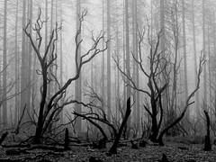 Fog and manzanita b&w (cyprest) Tags: yip2018 manzanita fog nature california