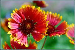 Winter Gaillardia (tdlucas5000) Tags: flowers flower gaillardia macro closeup bokeh creamybokeh sigma105 d850 socal winter