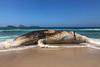 Baleia-jubarte - Humpback Whale (Megaptera novaeangliae) (Eden Fontes) Tags: riodejaneiro megapteranovaeangliae mammals mamíferos baleiajubarte praiadeipanema encalhe rj whalestranding humpbackwhale whales