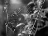 Spiderweb in the dew (Innocentijs) Tags: blacknwhite blackwhite bw monochrome spiderweb cobweb dew mist drops waterdrops spider nature life