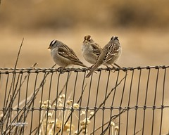 CCSTrail White Crowned Sparrows (wfgphoto) Tags: whitecrownedsparrow perched fence mature immature weeds