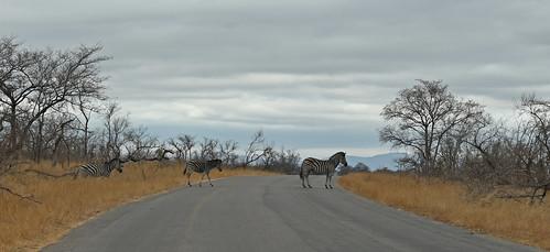 South Africa - Kruger - zebra crossing