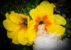 8231 (1 of 1) (sallyjane6) Tags: snow snowyday newlife buds winter bedford holly macro closeup