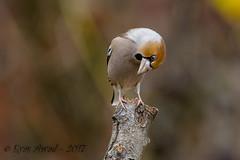 xxD40_3486 (Eyas Awad) Tags: eyasawad nikond4 sigma500f45 nikond800 nikonafs300mmf4 bird birds birdwatching wildlife nature frosone coccothraustescoccothraustes