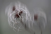 Clematis vitalba (JLM62380) Tags: clematisvitalba clématitedeshaies plant wild vigne blanche plante macro vignedesalomon viornedespauvres travellersjoy