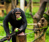 greedy (Rangarajan Ramesh) Tags: sierra leone apes africa sanctuary eating food holiday climbing