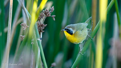 Common Yellowthroat (Bob Gunderson) Tags: birds california commonyellowthroat lakemerced northerncalifornia sanfrancisco warblers woodwarblers geothlypistrichas coth coth5