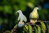 Pair of Pink-necked Green Pigeon (BP Chua) Tags: pigeon bird nature wild wildlife animal green pinknecked singapore sataybythebay nikon d750 600mm pair couple