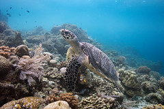 Hawksbill Rising (Lance Sagar) Tags: hawksbill turtle bunaken indonesia underwater water apnea sea sub aqua freediving coral reef nature wildlife exotic asia travel life sony ikelite rx100 inon