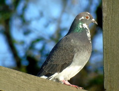 Wood Pigeon (sapko1961) Tags: pigeon bird bingley outdoor outside outdoors ou tree