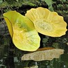 Chicago, Garfield Park Conservatory, Yellow Glass Flower Petals with Reflection (Artist: Dale Chihuly) (Mary Warren 9.6+ Million Views) Tags: chicago garfieldparkconservatory nature flora plant green leaves foliage glass petal reflection art sculpture dalechihuly pool water