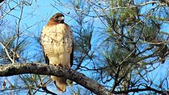 Red-tailed Hawk (Suzanham) Tags: pinetree tree sky bird redtailedhawk hawk wildlife nature chickenhawk buteo chordata perched noxubeewildliferefuge mississippi southern
