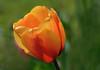 I Wish Everyone a Happy new 2018. (ost_jean) Tags: tulip tulp bloem fleurs ostjean nikon d5200 tamron sp 90mm f28 di vc usd macro 11 f004